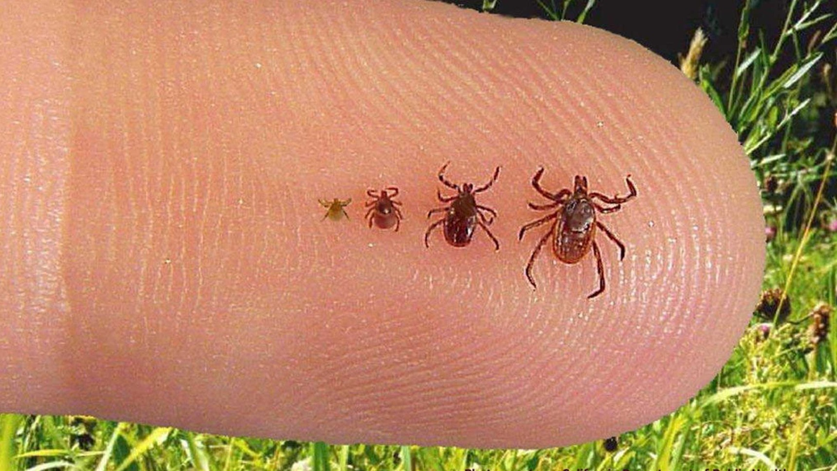Ticks in the lawns of our customer in Berkeley Heights, NJ.