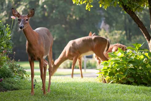 Deer on a residential property in New Providence, NJ.